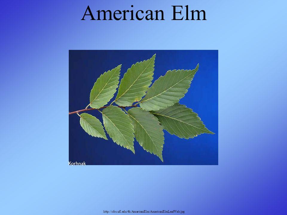 American Elm http://sfrc.ufl.edu/4h/AmericanElm/AmericanElmLeafWeb.jpg