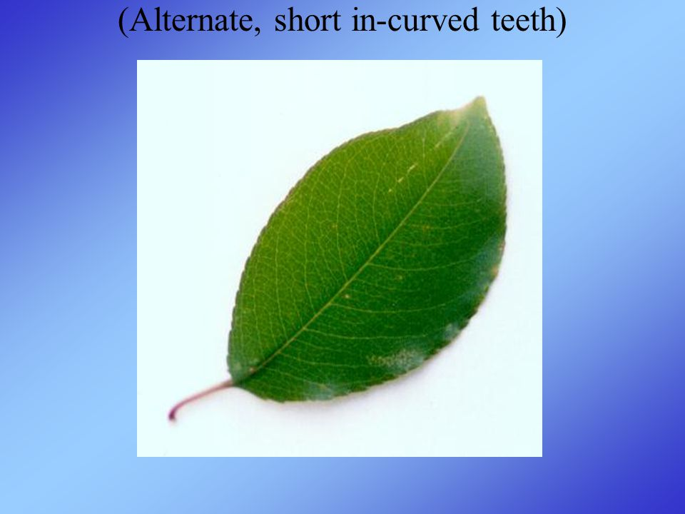 (Alternate, short in-curved teeth)