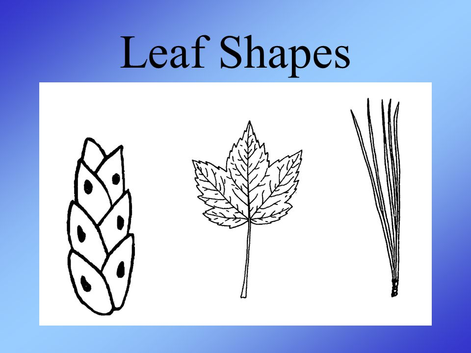 Leaf Shapes