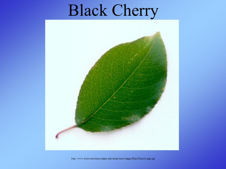 Black Cherry http://www.discoverscience.rutgers.edu/extras/trees/images/BlackCherryLarge.jpg