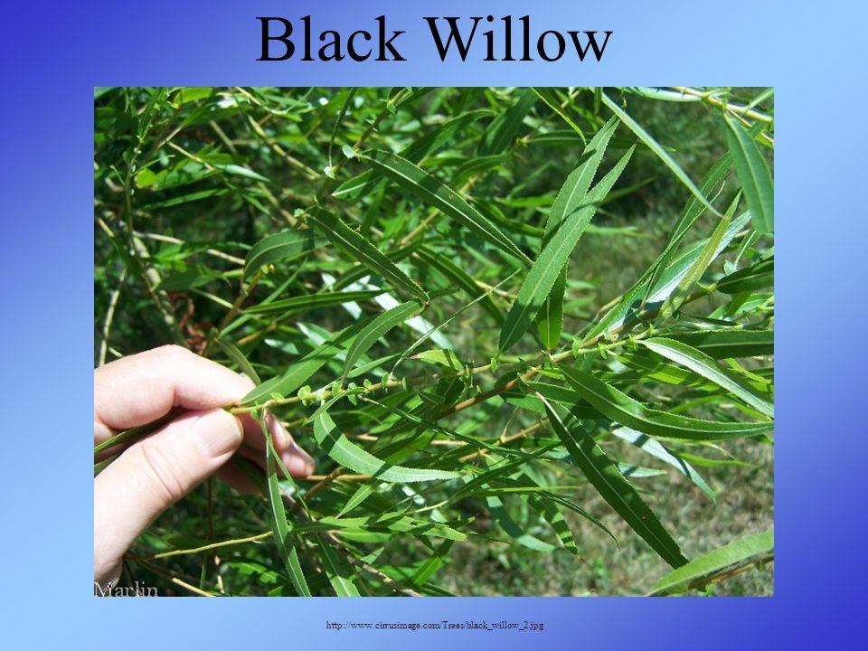 http://www.cirrusimage.com/Trees/black_willow_2.jpg Black Willow