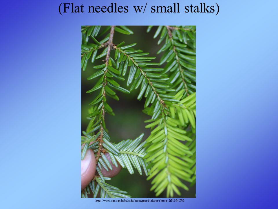 (Flat needles w/ small stalks) http://www.cas.vanderbilt.edu/bioimages/biohires/t/htsca--lf11394.JPG