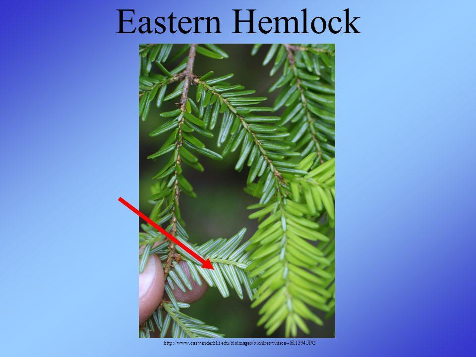 Eastern Hemlock http://www.cas.vanderbilt.edu/bioimages/biohires/t/htsca--lf11394.JPG