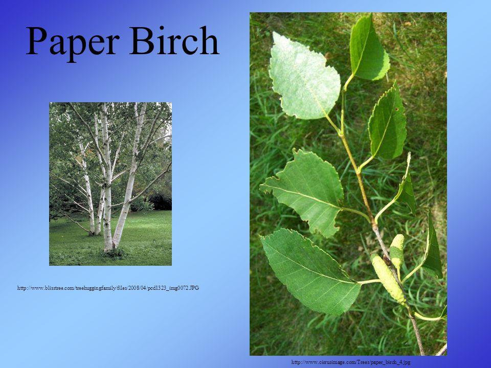http://www.blisstree.com/treehuggingfamily/files/2008/04/pcd1323_img0072.JPG http://www.cirrusimage.com/Trees/paper_birch_4.jpg Paper Birch
