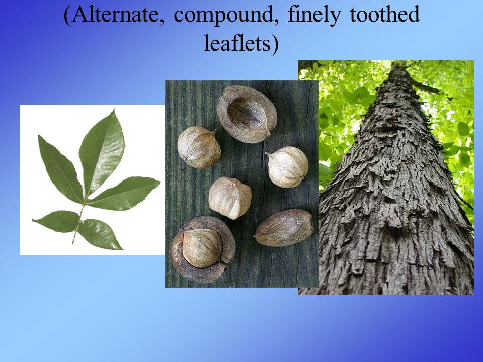 (Alternate, compound, finely toothed leaflets)