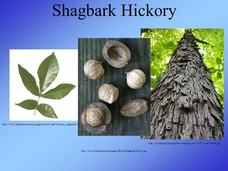 Shagbark Hickory http://www.laddarboretum.org/images/buttons/leaf%20detail_shagbark%20hickory.jpg http://sheisfinallywriting.files.wordpress.com/2008/