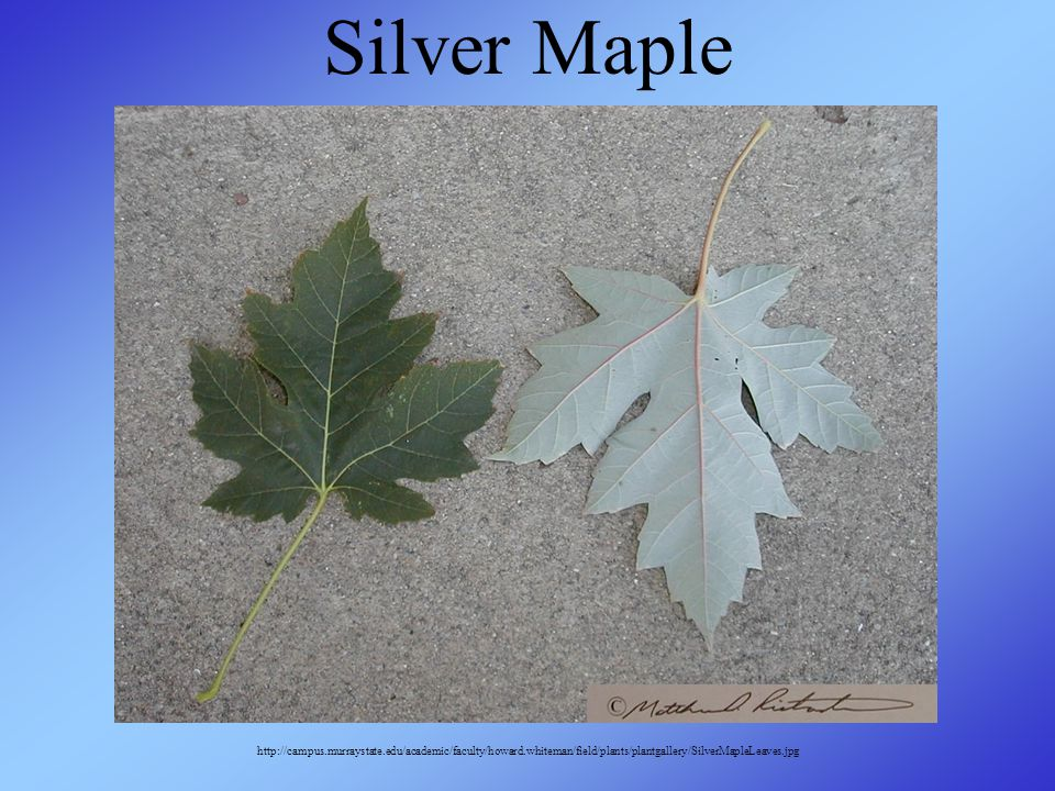 Silver Maple http://campus.murraystate.edu/academic/faculty/howard.whiteman/field/plants/plantgallery/SilverMapleLeaves.jpg