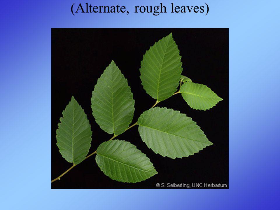 (Alternate, rough leaves)