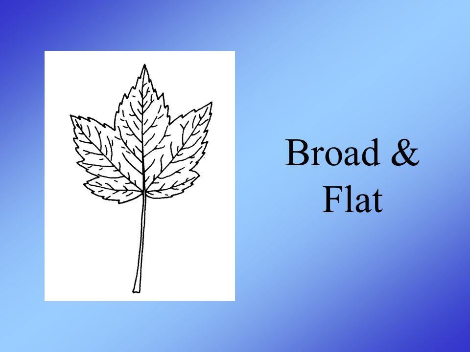 Broad & Flat