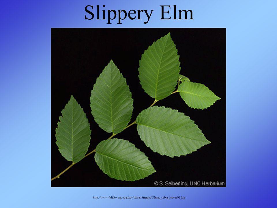 Slippery Elm http://www.ibiblio.org/openkey/intkey/images/Ulmus_rubra_leaves01.jpg
