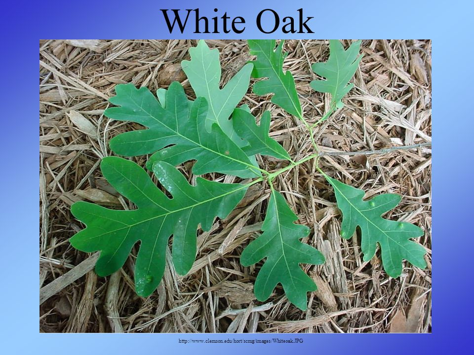 White Oak http://www.clemson.edu/hort/scmg/images/Whiteoak.JPG