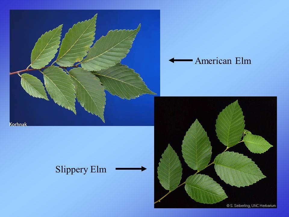 American Elm Slippery Elm