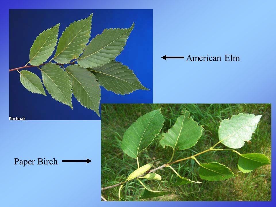 American Elm Paper Birch
