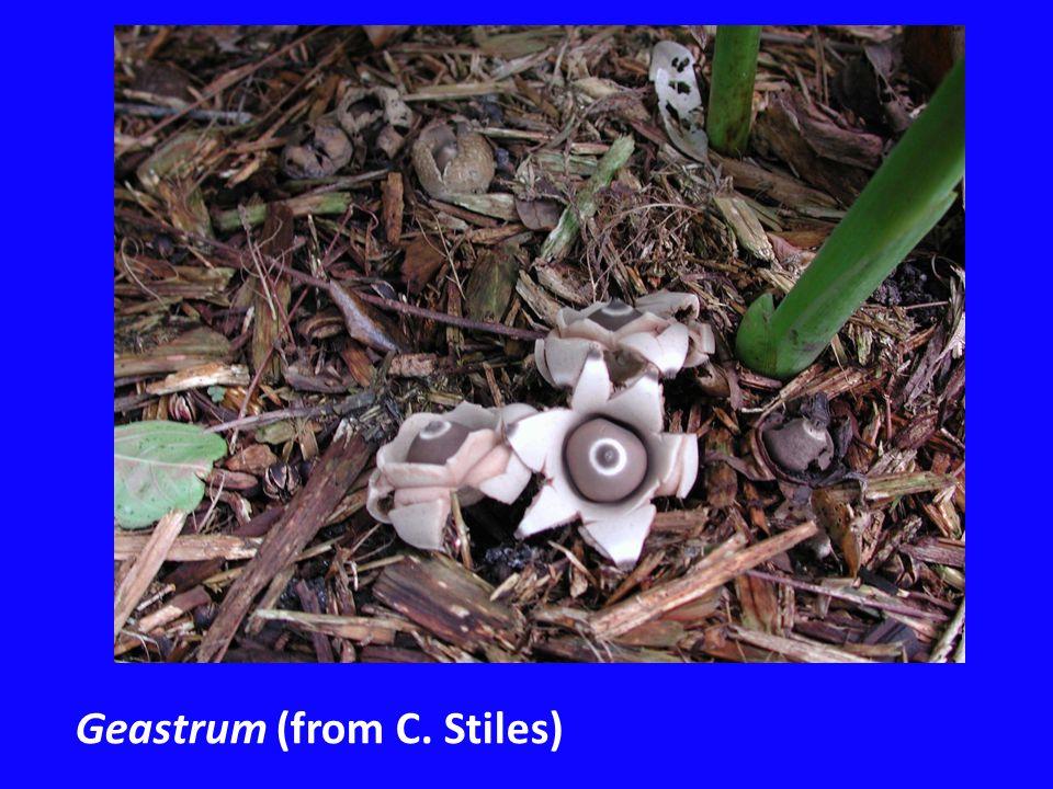 Geastrum (from C. Stiles)