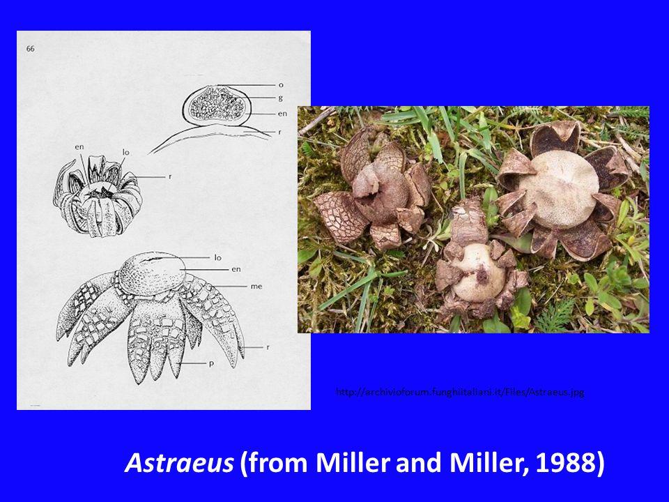 Astraeus (from Miller and Miller, 1988) http://archivioforum.funghiitaliani.it/Files/Astraeus.jpg
