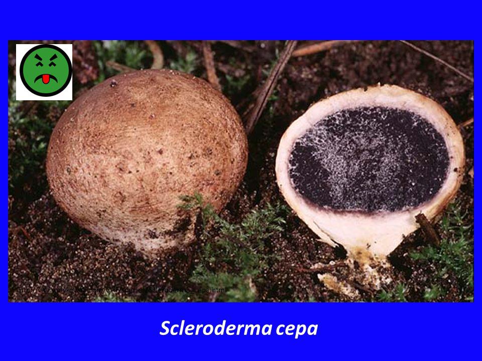 http://www.mykoweb.com/CAF/species/Scleroderma_cepa.html Scleroderma cepa