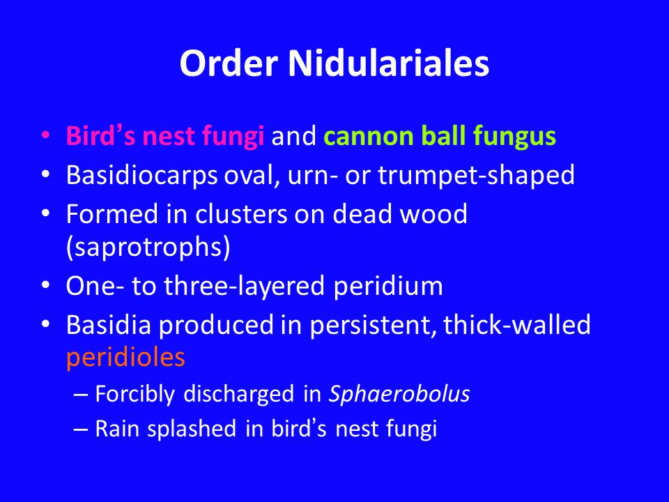 Order Nidulariales Bird ' s nest fungi and cannon ball fungus Basidiocarps oval, urn- or trumpet-shaped Formed in clusters on dead wood (saprotrophs)