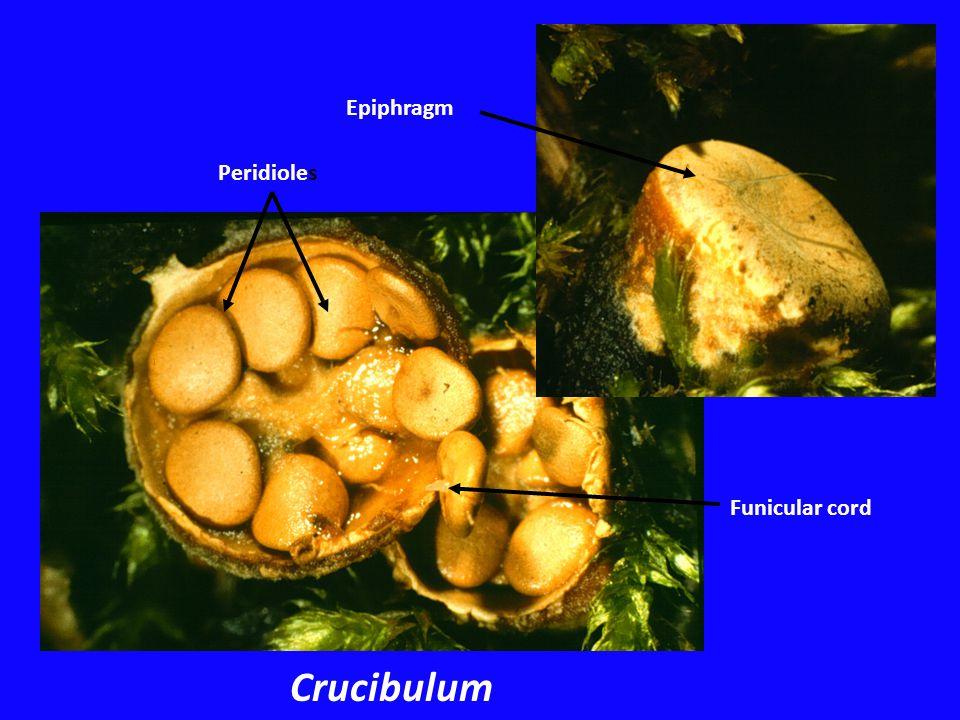 Epiphragm Funicular cord Peridioles Crucibulum