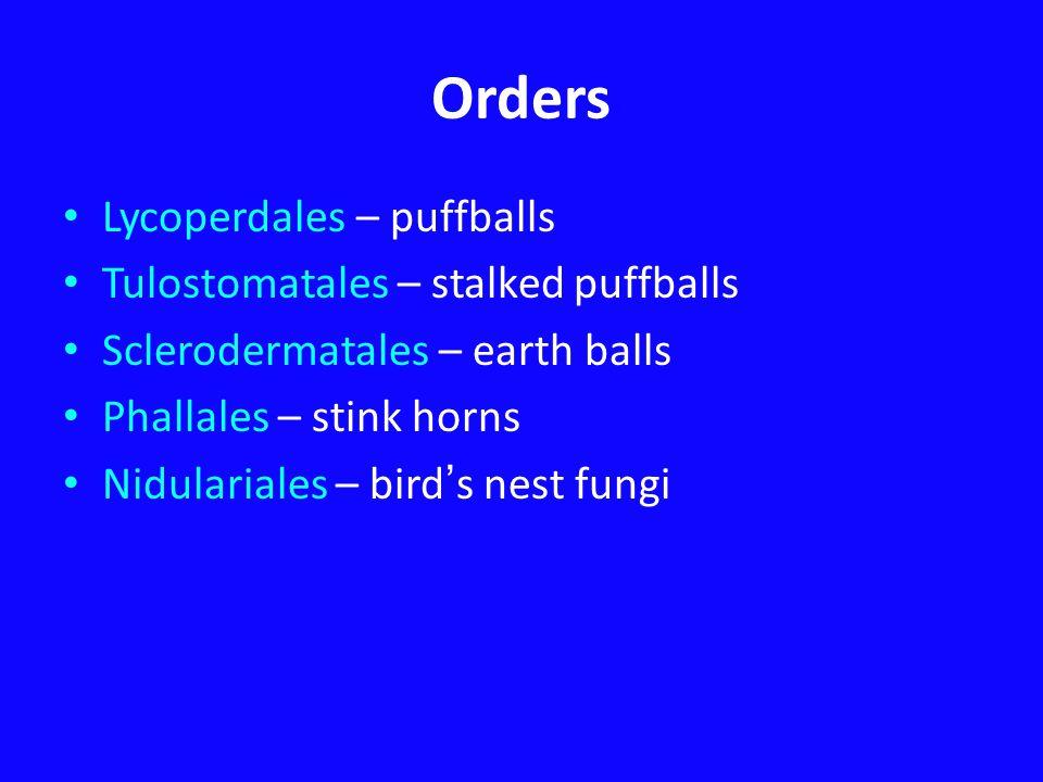 Orders Lycoperdales – puffballs Tulostomatales – stalked puffballs Sclerodermatales – earth balls Phallales – stink horns Nidulariales – bird ' s nest fungi