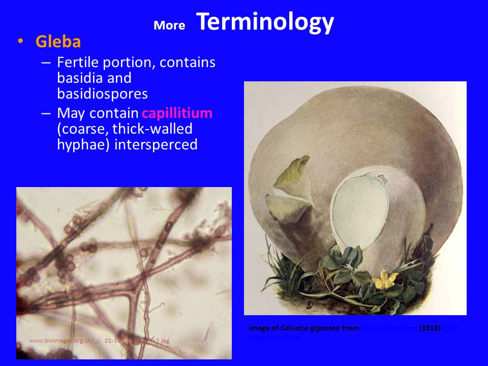 Gleba – Fertile portion, contains basidia and basidiospores – May contain capillitium (coarse, thick-walled hyphae) intersperced Image of Calvatia gigantea from Eugen Gramberg (1913) Pilze unserer HeimatEugen GrambergPilze unserer Heimat www.bioimages.org.uk/.../ 01-10-07/01J07K+3.jpg More Terminology