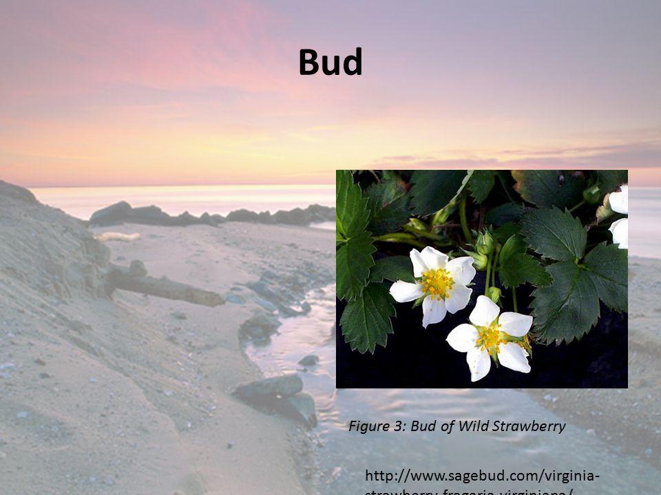 Bud Figure 3: Bud of Wild Strawberry http://www.sagebud.com/virginia- strawberry-fragaria-virginiana/