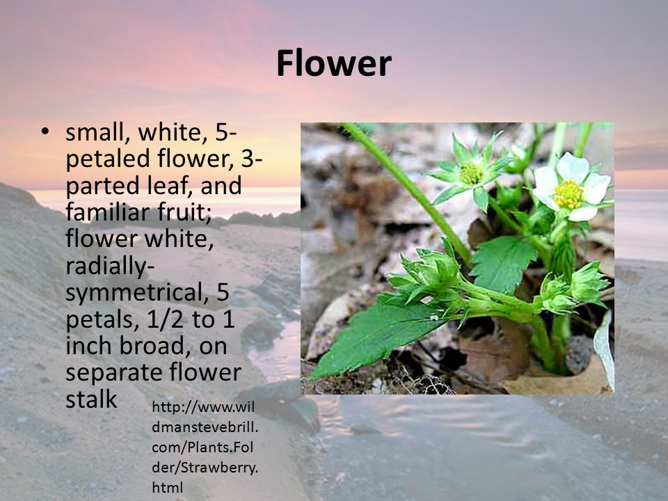 Flower small, white, 5- petaled flower, 3- parted leaf, and familiar fruit; flower white, radially- symmetrical, 5 petals, 1/2 to 1 inch broad, on separate flower stalk http://www.wil dmanstevebrill.