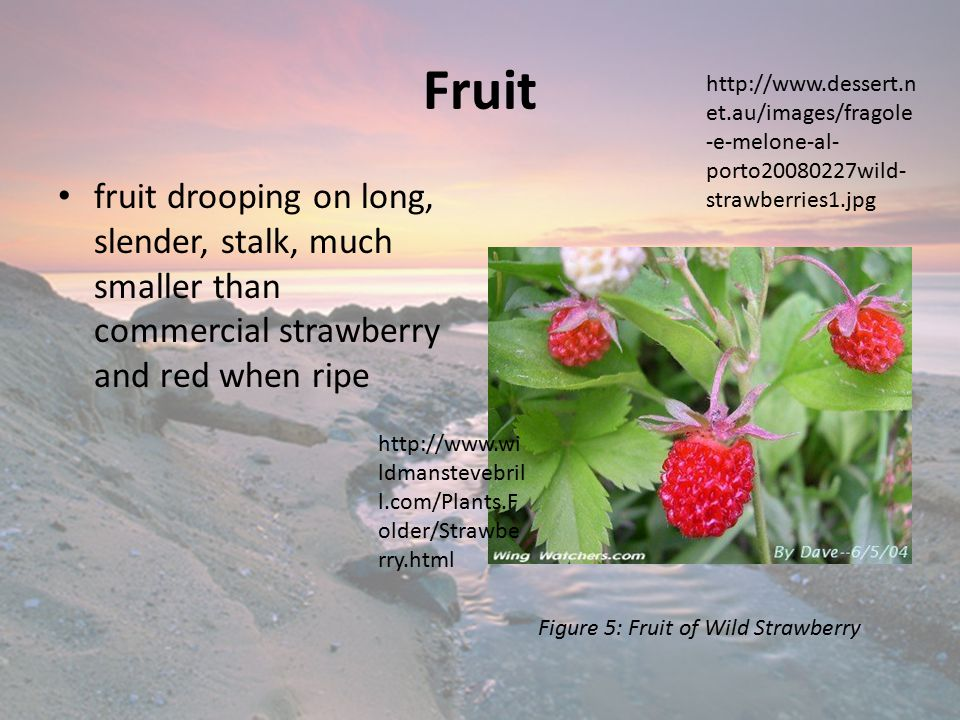 Fruit fruit drooping on long, slender, stalk, much smaller than commercial strawberry and red when ripe http://www.wi ldmanstevebril l.com/Plants.F older/Strawbe rry.html Figure 5: Fruit of Wild Strawberry http://www.dessert.n et.au/images/fragole -e-melone-al- porto20080227wild- strawberries1.jpg
