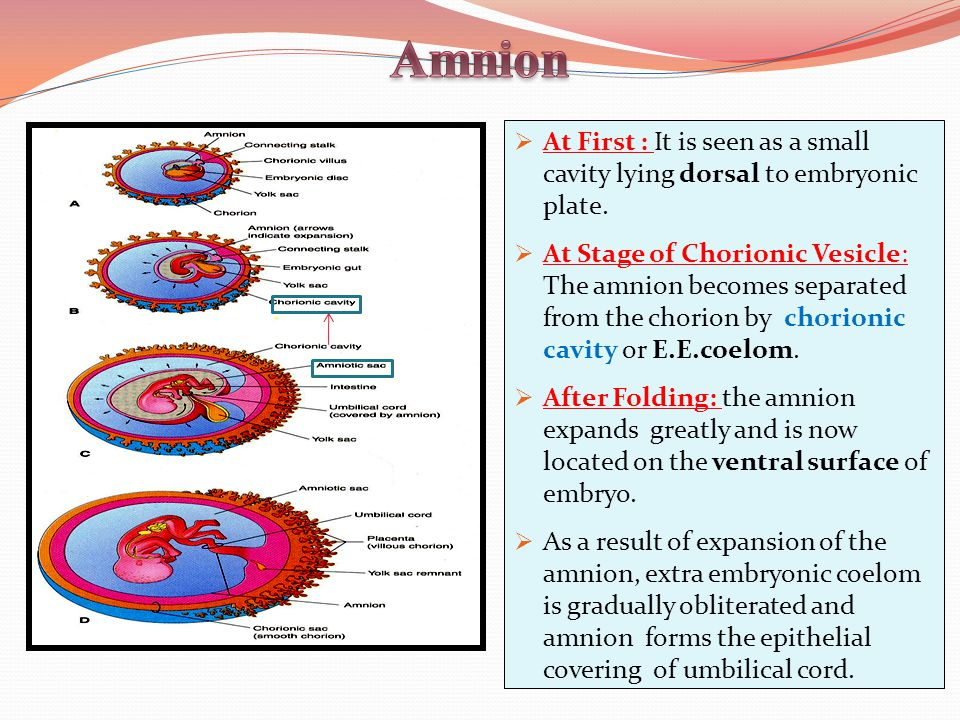  At First : It is seen as a small cavity lying dorsal to embryonic plate.