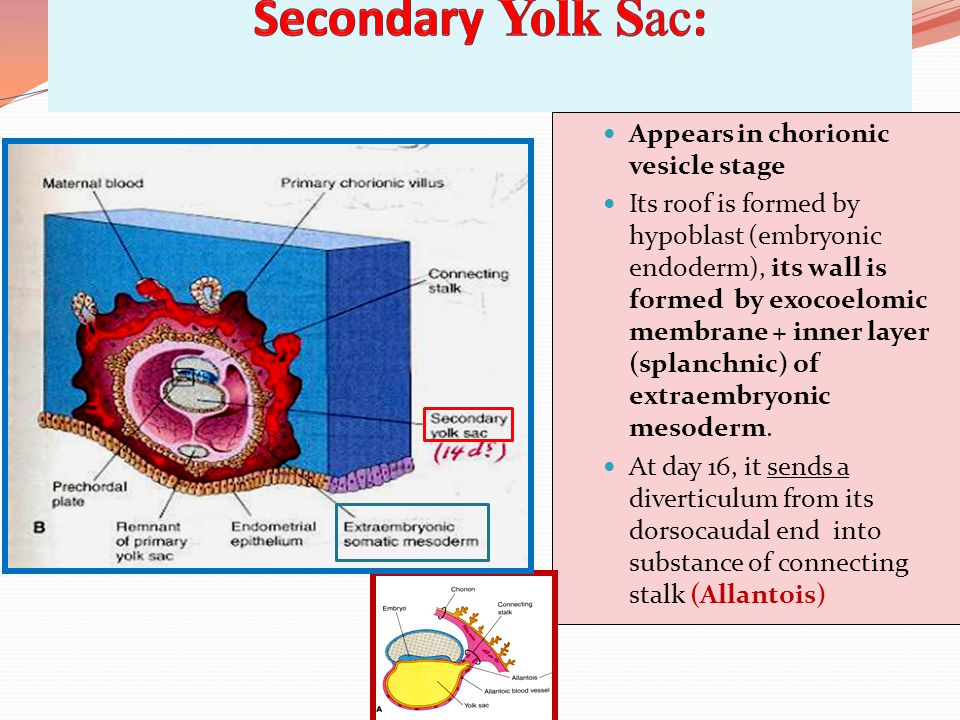 Appears in chorionic vesicle stage Its roof is formed by hypoblast (embryonic endoderm), its wall is formed by exocoelomic membrane + inner layer (splanchnic) of extraembryonic mesoderm.