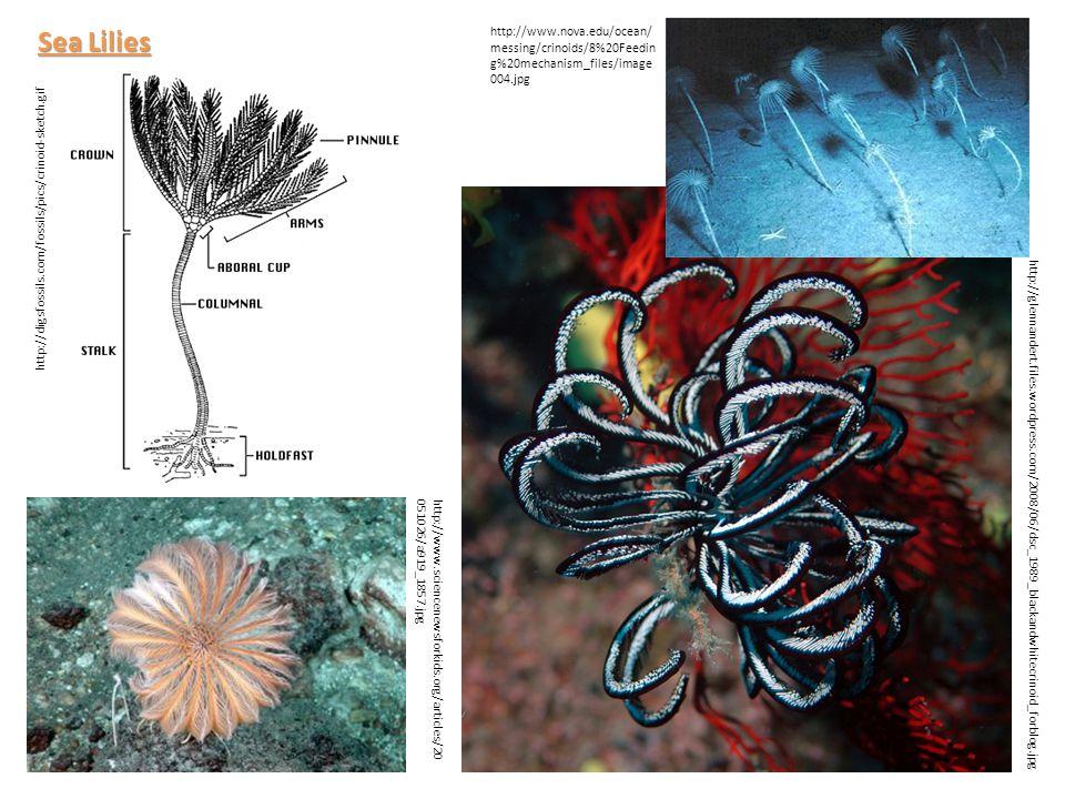 http://digsfossils.com/fossils/pics/crinoid-sketch.gif http://www.nova.edu/ocean/ messing/crinoids/8%20Feedin g%20mechanism_files/image 004.jpg http:/