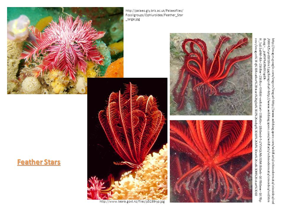 http://www.teara.govt.nz/files/p5199ryp.jpg http://images.google.com/imgres imgurl=http://www.wildsingapore.com/wildfacts/echinodermata/crinoidea/red /080425cyrd1818m3.jpg&imgrefurl=http://www.wildsingapore.com/wildfacts/echinodermata/crinoidea/red.htm &usg=__paR9PIvtJNr8UapDk- H_SyS1u0M=&h=216&w=216&sz=59&hl=en&start=33&itbs=1&tbnid=TcZY59QLNb31lM:&tbnh=107&tbnw=107&p rev=/images%3Fq%3Dfeather%2Bstars%26gbv%3D2%26ndsp%3D18%26hl%3Den%26sa%3DN%26start%3D18 http://palaeo.gly.bris.ac.uk/Palaeofiles/ Fossilgroups/Ophiuroidea/Feather_Star _large.jpg Feather Stars