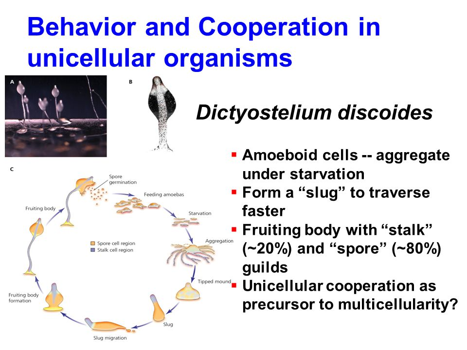 "Behavior and Cooperation in unicellular organisms Dictyostelium discoides  Amoeboid cells -- aggregate under starvation  Form a ""slug"" to traverse f"
