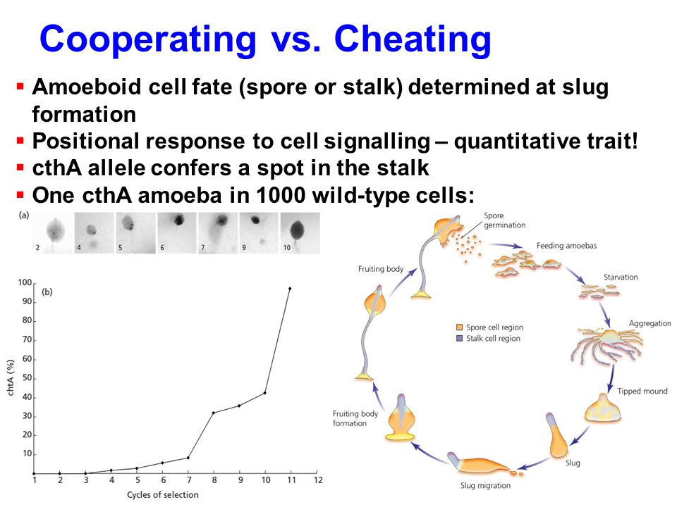 Cooperating vs. Cheating  Amoeboid cell fate (spore or stalk) determined at slug formation  Positional response to cell signalling – quantitative tr