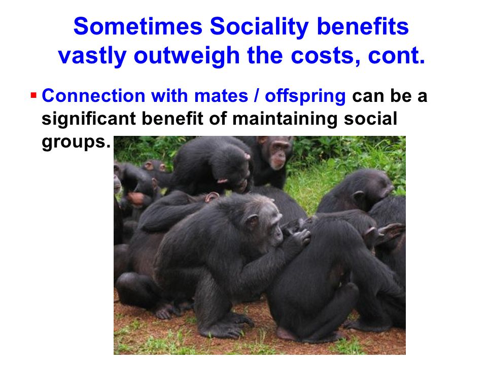 Sometimes Sociality benefits vastly outweigh the costs, cont.  Connection with mates / offspring can be a significant benefit of maintaining social g