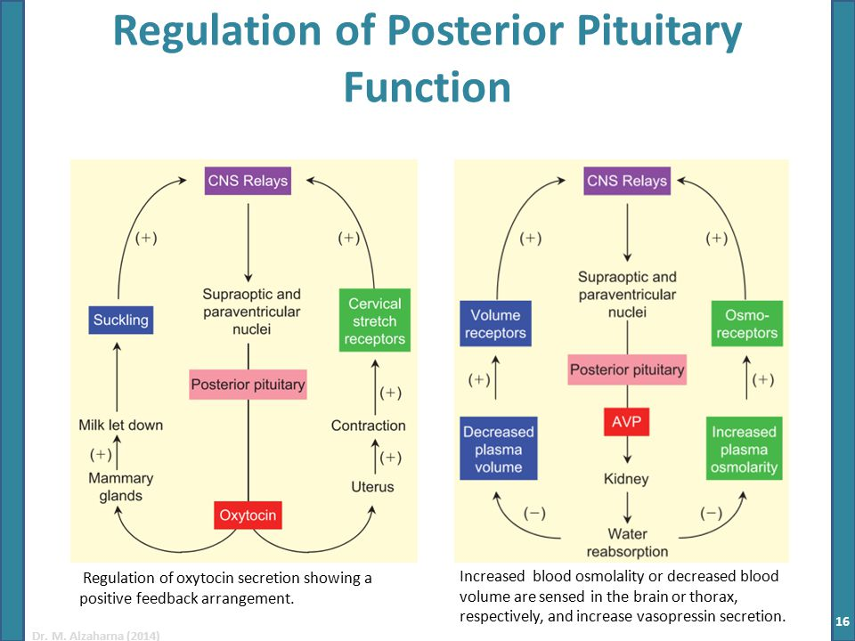 Dr. M. Alzaharna (2014) Regulation of Posterior Pituitary Function Increased blood osmolality or decreased blood volume are sensed in the brain or tho