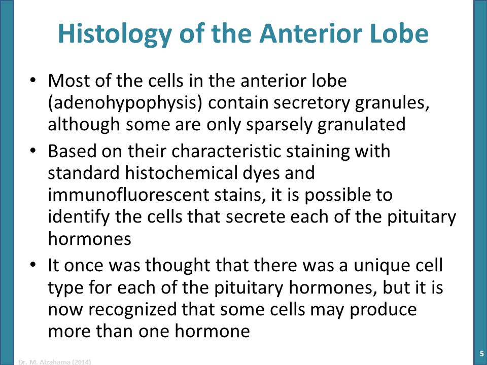 Dr. M. Alzaharna (2014) Histology of the Anterior Lobe Most of the cells in the anterior lobe (adenohypophysis) contain secretory granules, although s