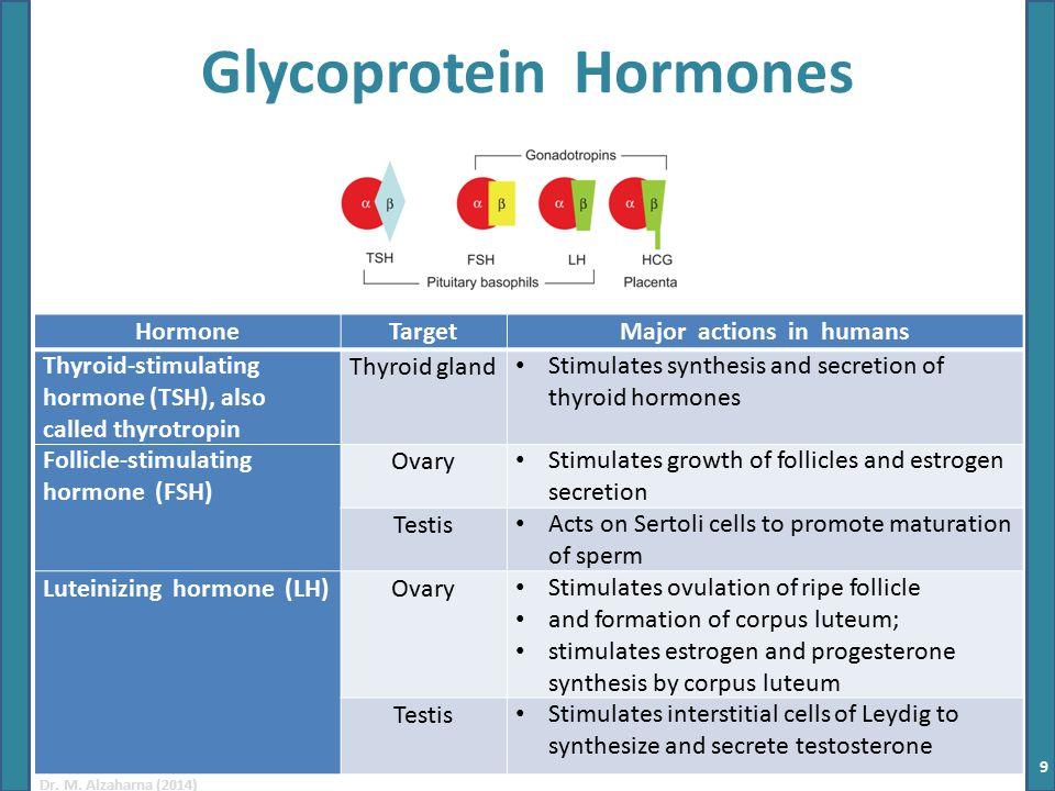 Dr. M. Alzaharna (2014) Glycoprotein Hormones HormoneTargetMajor actions in humans Thyroid-stimulating hormone (TSH), also called thyrotropin Thyroid