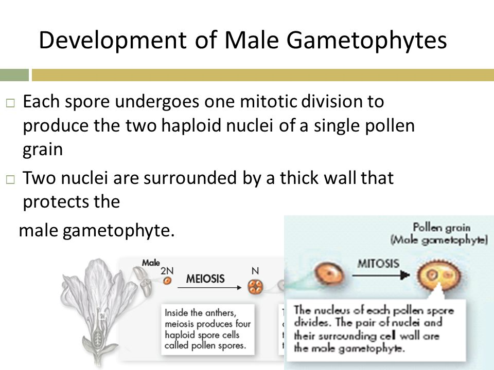 Development of Male Gametophytes  Each spore undergoes one mitotic division to produce the two haploid nuclei of a single pollen grain  Two nuclei a