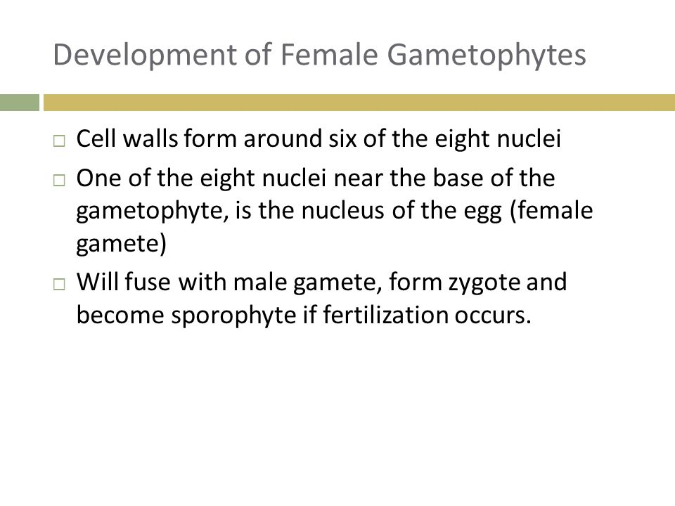 Development of Female Gametophytes  Cell walls form around six of the eight nuclei  One of the eight nuclei near the base of the gametophyte, is the