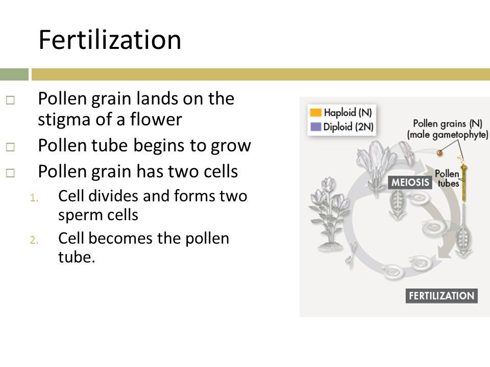 Fertilization  Pollen grain lands on the stigma of a flower  Pollen tube begins to grow  Pollen grain has two cells 1. Cell divides and forms two s