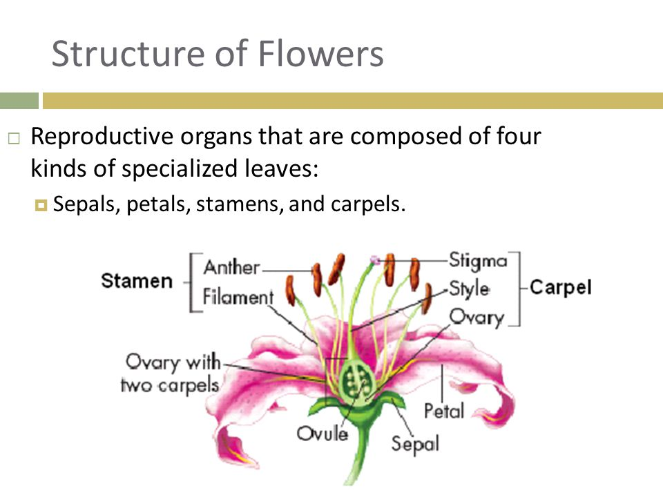 Structure of Flowers  Reproductive organs that are composed of four kinds of specialized leaves:  Sepals, petals, stamens, and carpels.