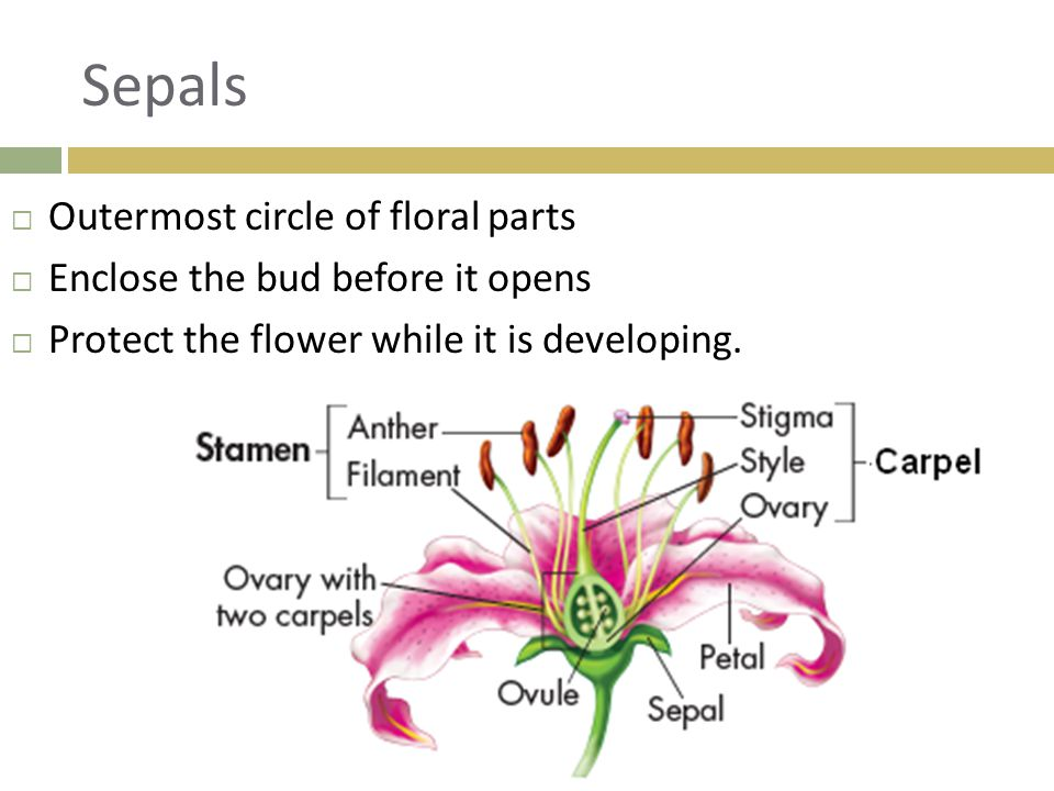 Sepals  Outermost circle of floral parts  Enclose the bud before it opens  Protect the flower while it is developing.