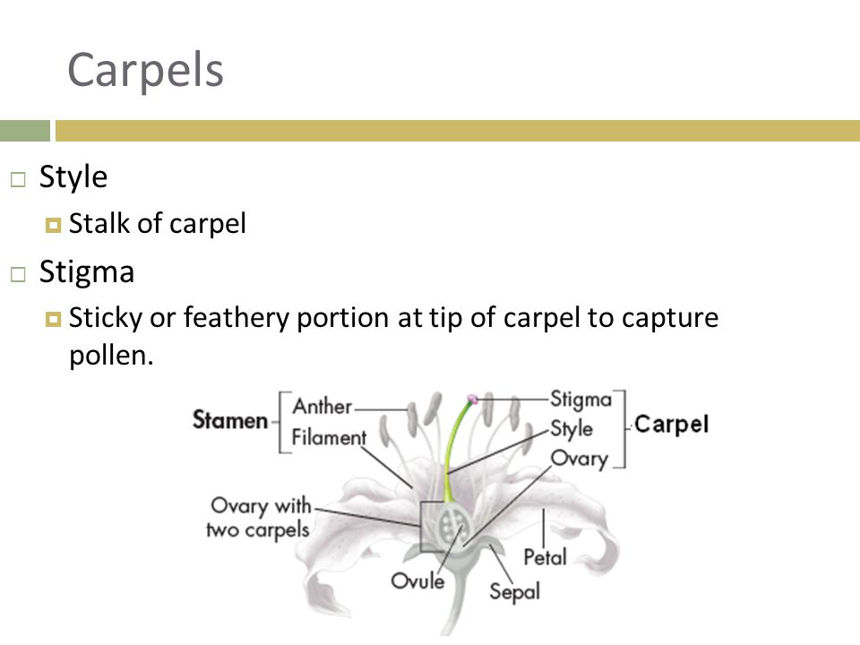 Carpels  Style  Stalk of carpel  Stigma  Sticky or feathery portion at tip of carpel to capture pollen.