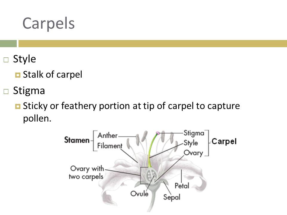Carpel  Pistil  Single carpel or several fused carpels.