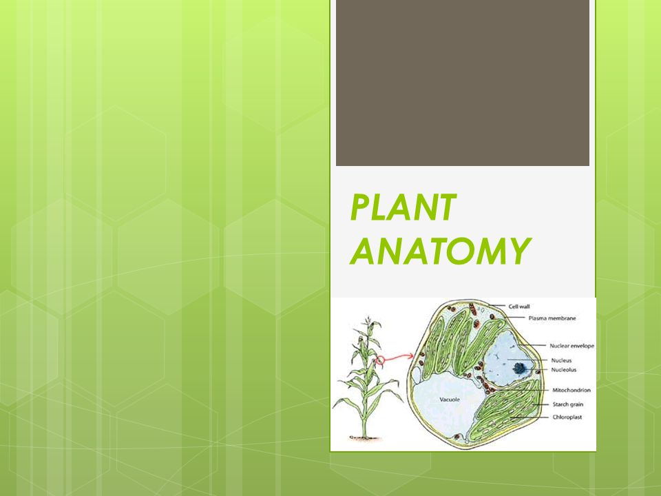 The science of the structure of the organized plant body learned by dissection is called Plant Anatomy.