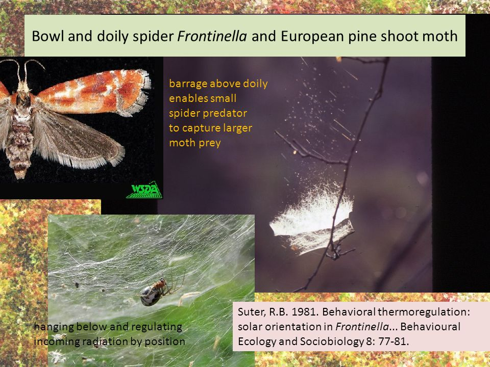 Bowl and doily spider Frontinella and European pine shoot moth Suter, R.B. 1981. Behavioral thermoregulation: solar orientation in Frontinella... Beha