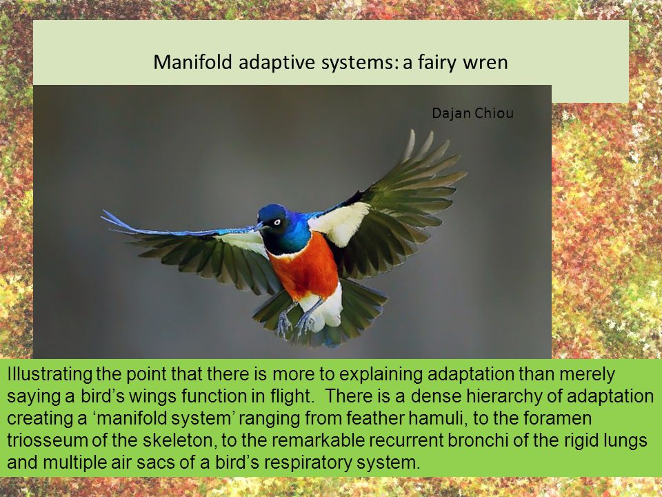 Manifold adaptive systems: a fairy wren Illustrating the point that there is more to explaining adaptation than merely saying a bird's wings function