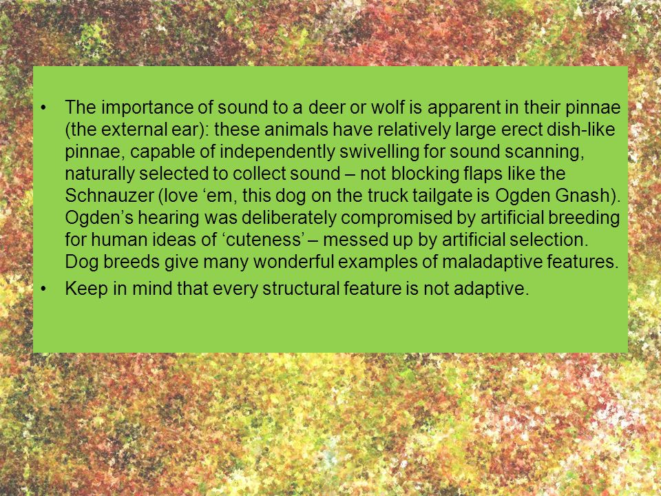 The importance of sound to a deer or wolf is apparent in their pinnae (the external ear): these animals have relatively large erect dish-like pinnae,