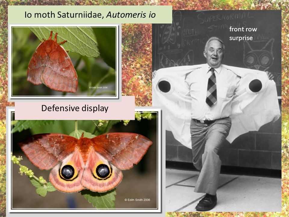 Defensive display Io moth Saturniidae, Automeris io front row surprise