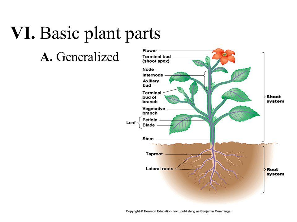 VI. Basic plant parts A. Generalized